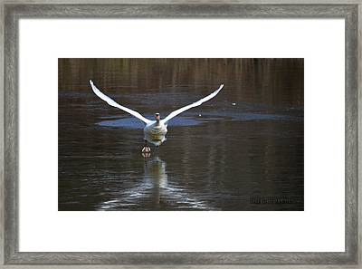 Framed Print featuring the photograph Swans On Ice by Brian Stevens