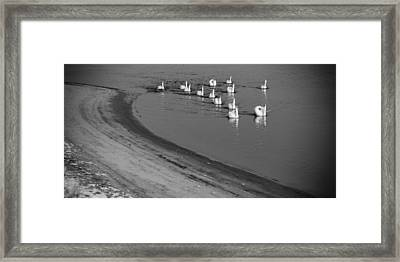 Swans On River Danube Framed Print by Tibor Puski