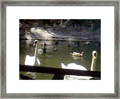 Swans On The Lake Framed Print by De Beall