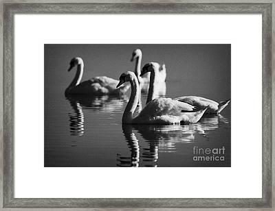 Swans Swimming On A Lake Framed Print by Joe Fox