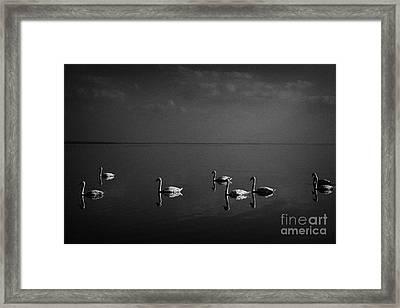 Swans Swimming On Lough Neagh Northern Ireland Framed Print by Joe Fox