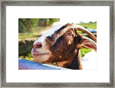 Framed Print featuring the photograph Sweet Goat by Mary Zeman