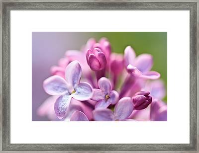 Sweet Lilac Framed Print by Mitch Shindelbower