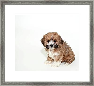 Sweet Little Lhasa Puppy Framed Print
