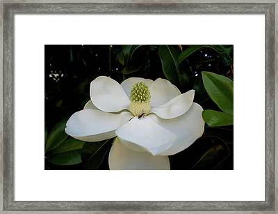 Framed Print featuring the photograph Sweet Magnolia by Paul Mashburn