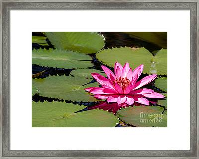 Sweet Pink Water Lily In The River Framed Print by Sabrina L Ryan