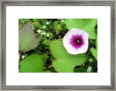 Sweet Potatoe Flower Framed Print by Juliana  Blessington