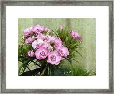 Sweet Sweet Williams Framed Print by Pamela Patch