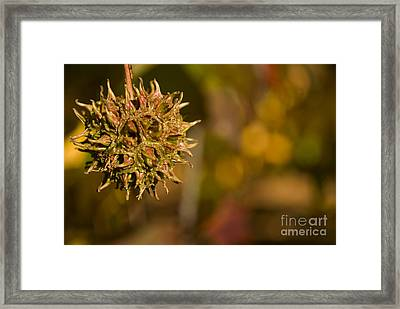 Sweetgum Seed Pod Framed Print by Heather Applegate