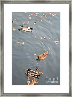 Swimming Ducks And Autumn Leaves Framed Print