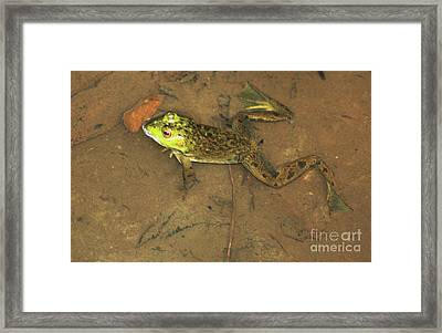 Swimming Frog Framed Print by Nick Gustafson