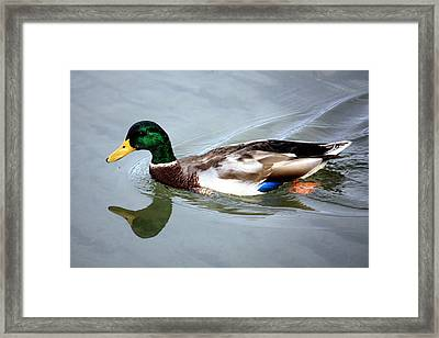 Swimming Mallard Duck Framed Print by Julia Mayo
