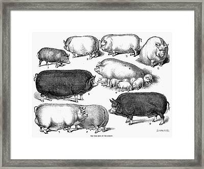 Swine, 1876 Framed Print