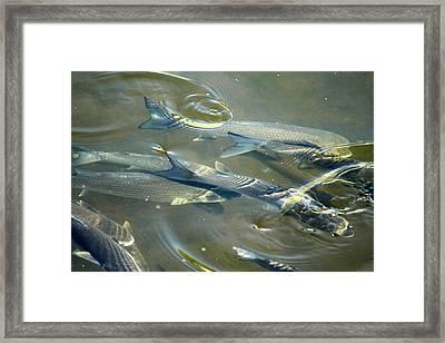 Swish Fish Framed Print by Chris Davis