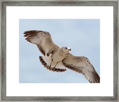 Swooping In For A Meal Framed Print