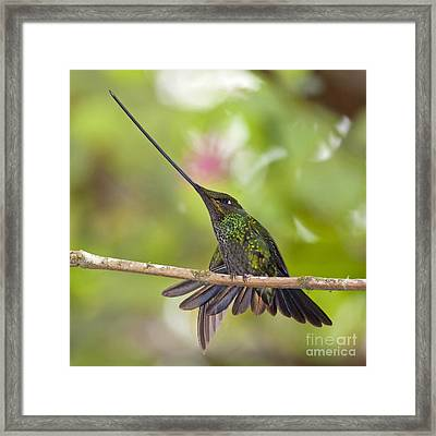 Sword-billed Hummingbird Framed Print