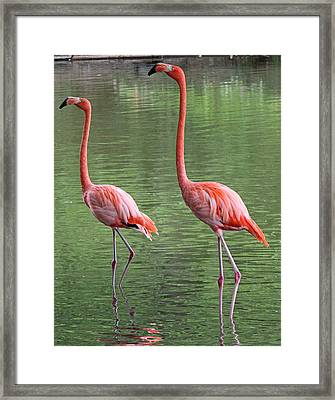 Synchronized Flamingos Framed Print by Becky Lodes