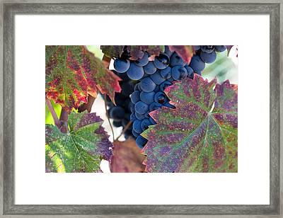 Syrah Grapes With Autumn Leaves Framed Print by Dina Calvarese