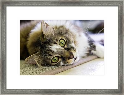 Tabby Cat Looking At Camera Framed Print