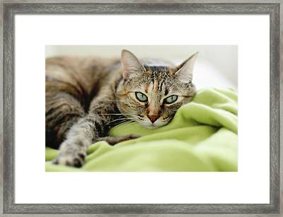 Tabby Cat On Green Blanket Framed Print by Dhmig Photography