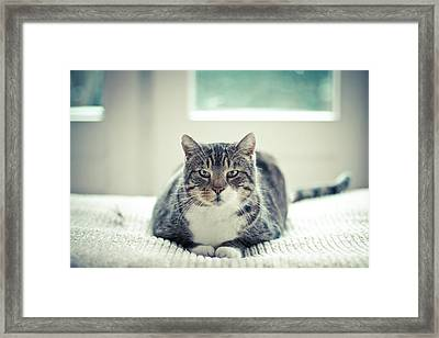 Tabby Cat Staring Straight In Camera Framed Print by Cindy Prins