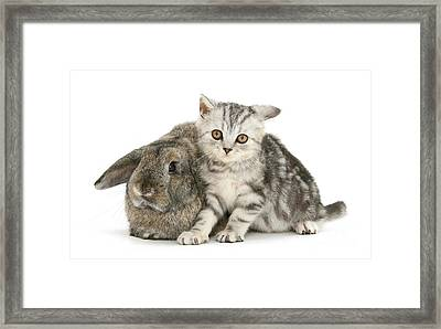 Tabby Kitten And Rabbit Framed Print