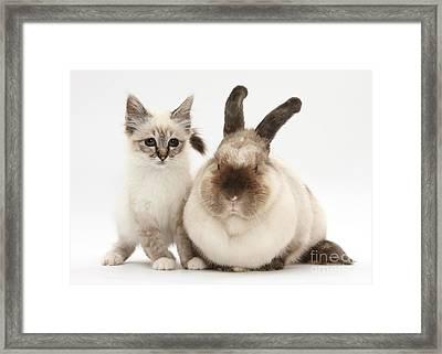 Tabby-point Birman Kitten Framed Print