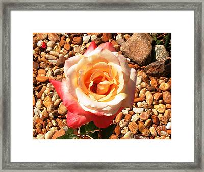 Taboo Rose Framed Print by Alys Caviness-Gober