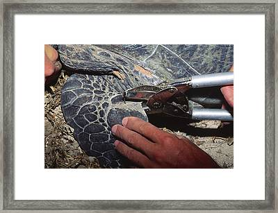 Tagging A Turtle Framed Print by Alexis Rosenfeld