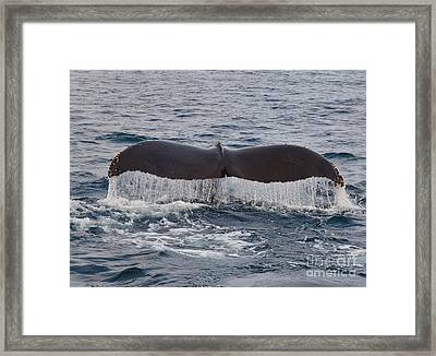 Tail Of The Humpback Framed Print by Timothy OLeary