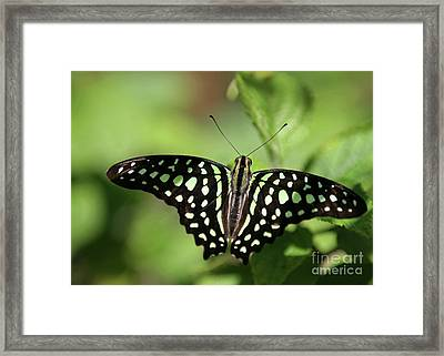 Tailed Jay Butterfly Framed Print by Sabrina L Ryan