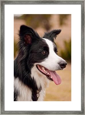 Taj - Border Collie Profile Framed Print by Michelle Wrighton