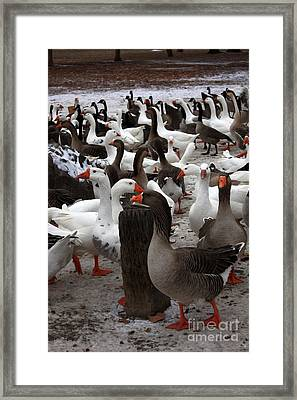 Take A Gander Framed Print by Carol Groenen