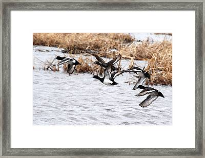 Take Flight No. 3 - Watercolor Framed Print by Janice Adomeit