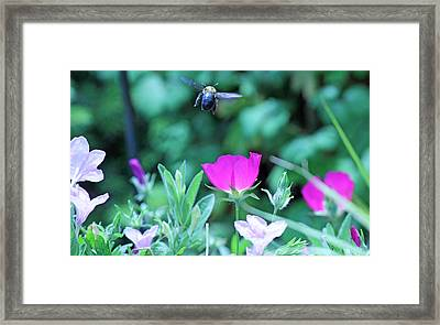 Takeoff Framed Print by Becky Lodes