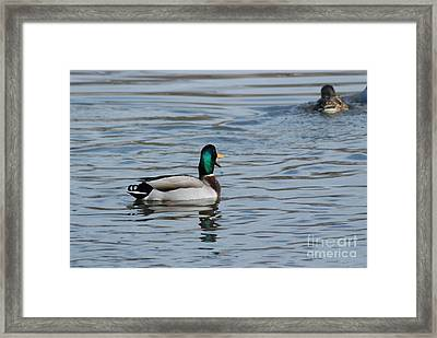 Framed Print featuring the photograph Talking Mallard by Mark McReynolds