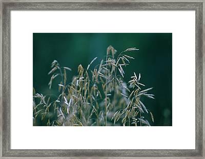 Tall Grass Seeds Framed Print by Jaye Crist