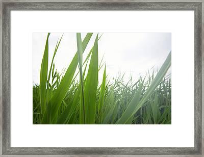 Tall Lake Grass Framed Print