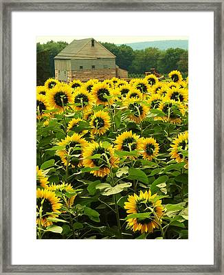 Framed Print featuring the photograph Tall Sunflowers by John Scates