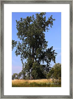 Tall Tree Framed Print by Sophie Vigneault