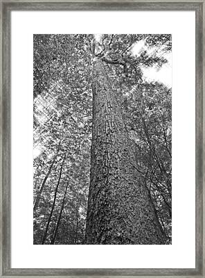 Framed Print featuring the photograph Tall Tree With Sunshine by Susan Leggett