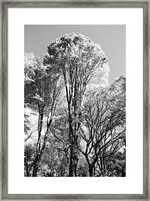 Tall Trees In Central Park In Black And White Framed Print by Rob Hans