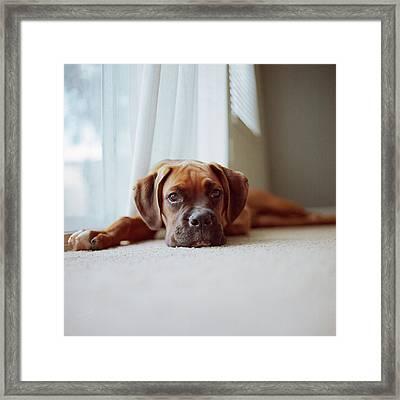 Tan Boxer Puppy Laying On Carpet Near Window Framed Print