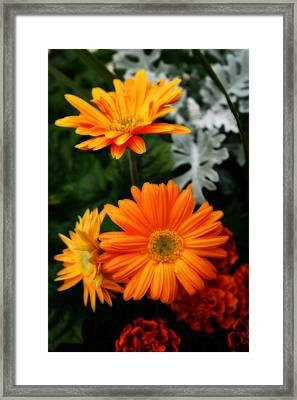 Tangerine Colored Gerbera Daisies Framed Print by Kay Novy
