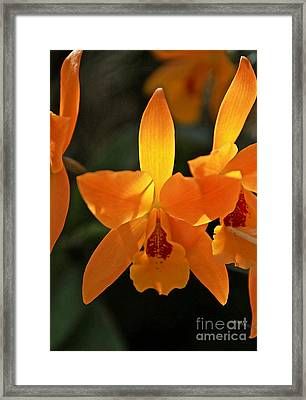 Tangerine Orchids Framed Print by Glennis Siverson