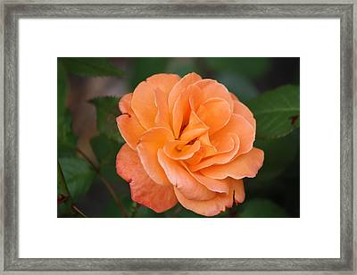 Tangerine Rose Framed Print by Donna  Smith
