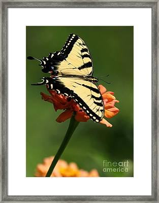 Tantalizing Tiger Swallowtail Butterfly Framed Print by Sabrina L Ryan