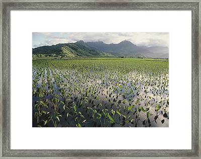 Taro Crops, Hawaii Framed Print by G. Brad Lewis