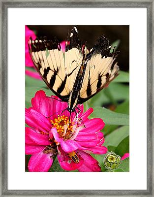 Framed Print featuring the photograph Tattered Wings Number Two by Paula Tohline Calhoun
