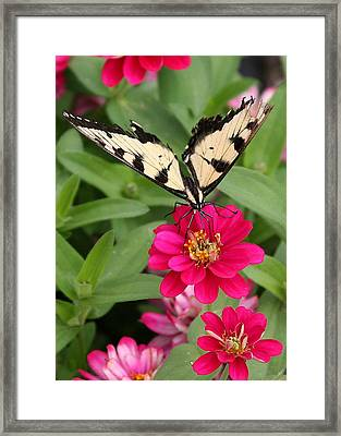 Framed Print featuring the photograph Tattered Wings by Paula Tohline Calhoun